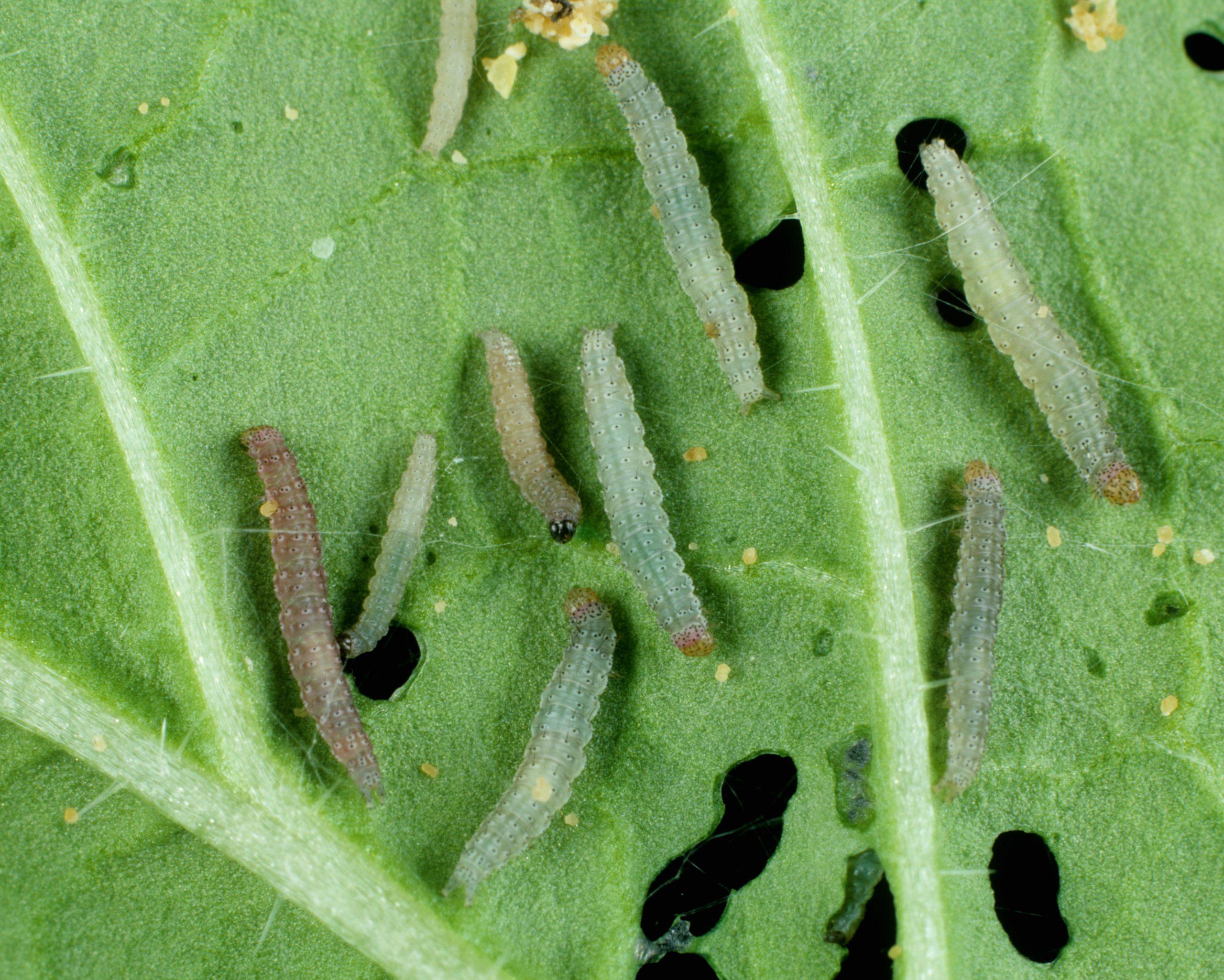 diamondback moth larvae